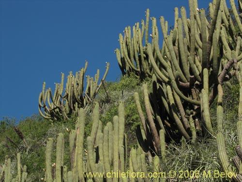 Descripci n e im genes de echinopsis chiloensis quisco for Semillas de cactus chile