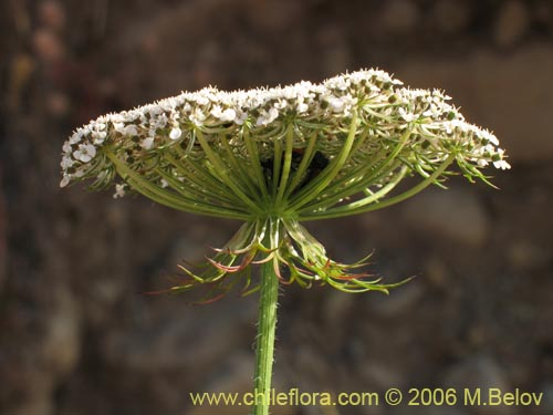 Description And Images Of Daucus Carota Zanahoria Silvestre A Native Chilean Plant Provided By The Supplier Of Native Exotic Chilean Seeds Chileflora Com Wrath of the lich king. chileflora