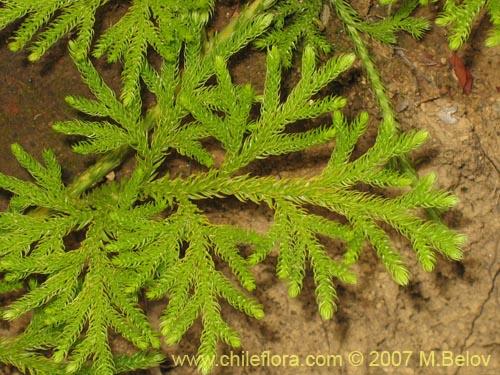 Image of Lycopodium paniculatum (Pimpinela)