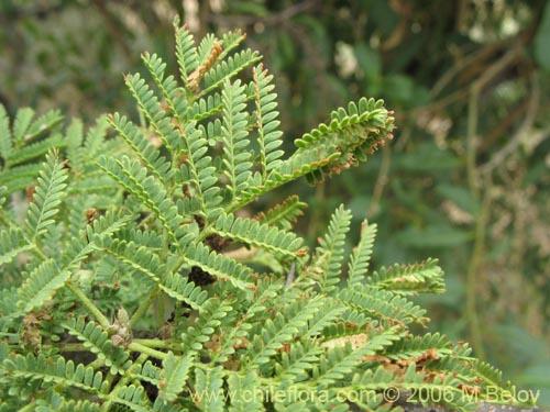 Description And Images Of Acacia Caven Espino Aromo A Native