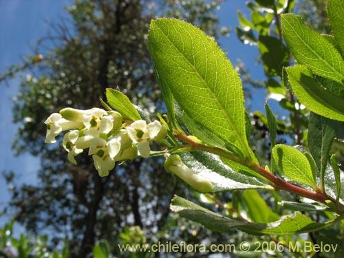 Descripci n e im genes de escallonia leucantha siete for Planta ornamental blanca nieves