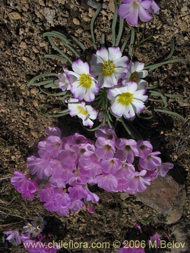 descripci n e im genes de oxalis adenophylla culle una
