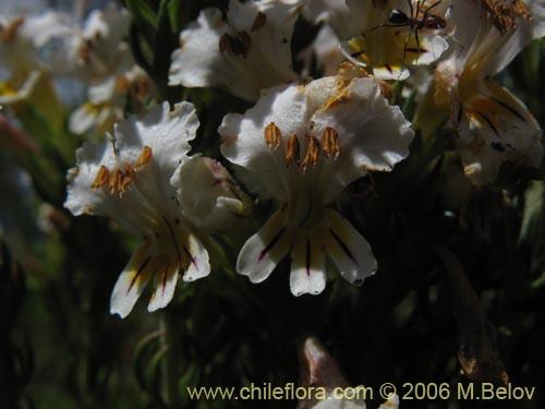 Descripci n e im genes de euphrasia flavicans eufrasia for Planta ornamental blanca nieves