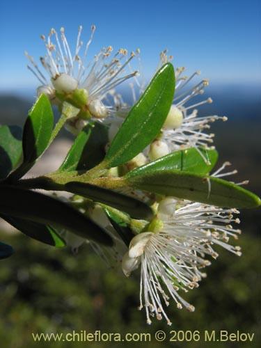 Descripci n e im genes de myrceugenia chrysocarpa luma for Planta ornamental blanca nieves