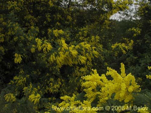 Description And Images Of Acacia Dealbata Aromo De Castilla A