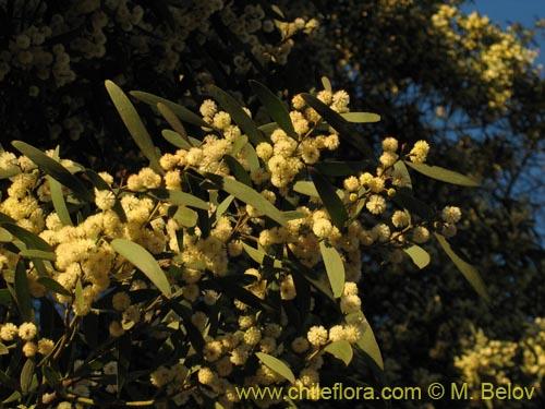 Description And Images Of Acacia Melanoxylon Aromo Australiano