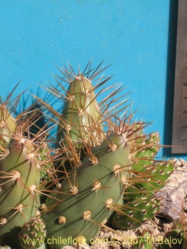 Descripci n e im genes de maihueniopsis grandiflora for Semillas de cactus chile