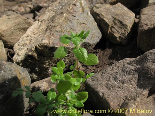 Descripcion E Imagenes De Parietaria Debilis Una Planta Chilena
