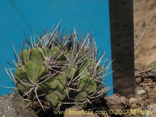 Descripci n e im genes de eriosyce paucicostata una for Semillas de cactus chile
