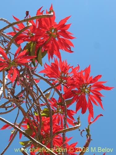Cuidados de la planta de pascua fabulous la flor de - Que cuidados necesita la flor de pascua ...