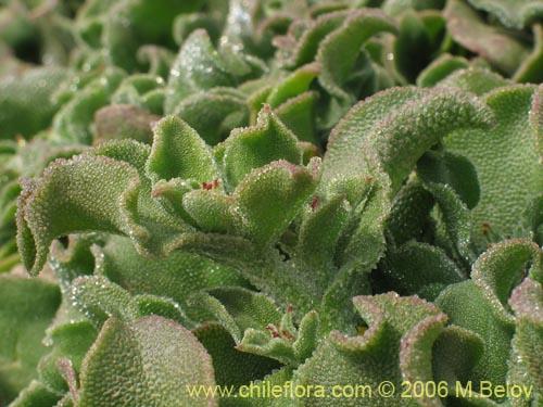 Description And Images Of Mesembryanthemum Crystallinum