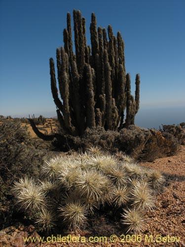 Descripci n e im genes de cylindropuntia tunicata una for Semillas de cactus chile