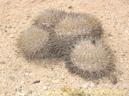Descripci n e im genes de copiapoa serpentisculata cactus for Semillas de cactus chile