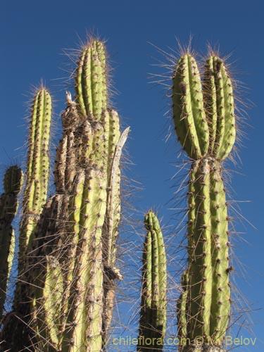 Descripci n e im genes de corryocactus brevistylus for Semillas de cactus chile