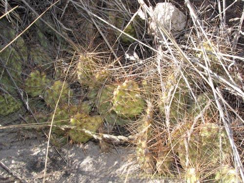 Descripci n e im genes de tunilla chilensis una planta for Semillas de cactus chile