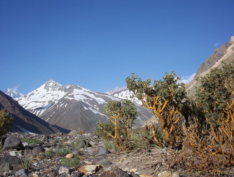 Image of Adesmias in Embalse Yeso Valley.
