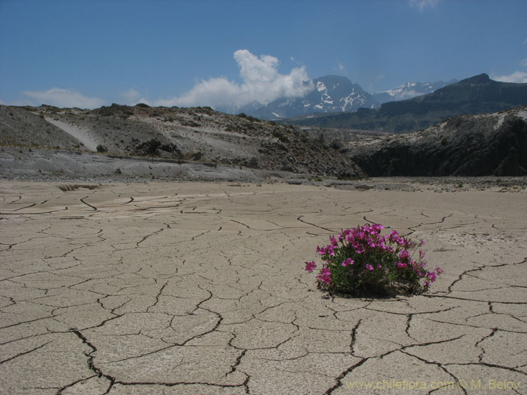 A solitary flower on a dry river bed, Mondaca, Radal Siete Tazas, Chile.