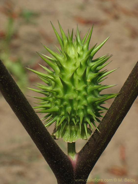 Image (close-up) of Datura Stramonium.