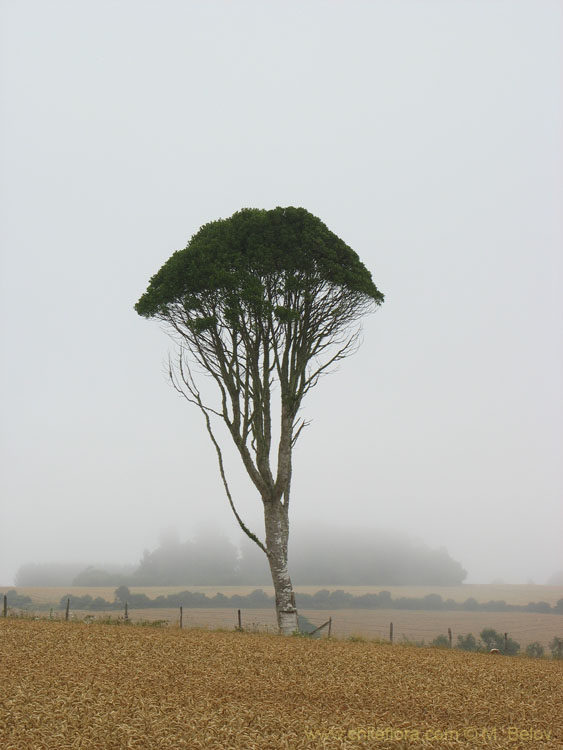 Image of a solitary tall tree in a field on a foggy morning, near Puerto Saavedra and Budi lake.