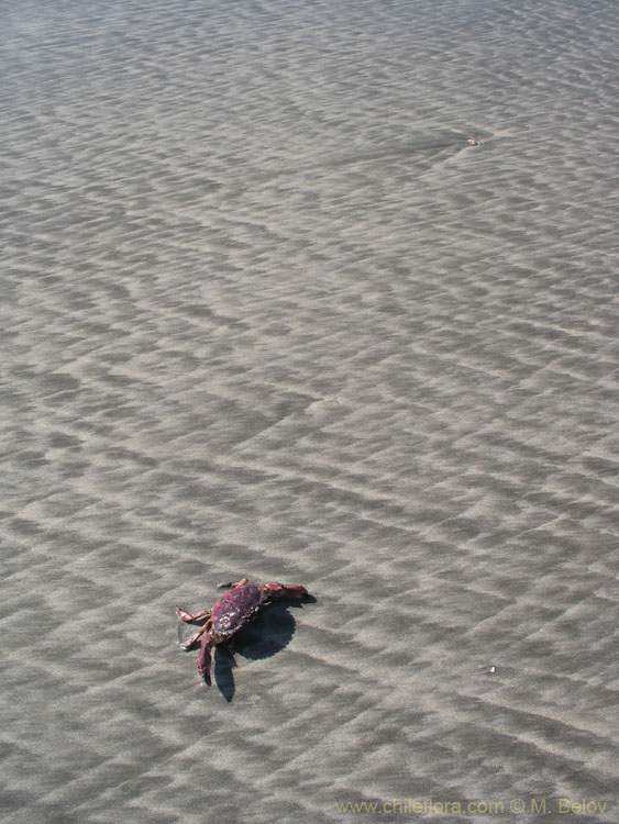 Crab:Some areas in Chile have tropical-looking beaches, but the water is hardly over 20� C.