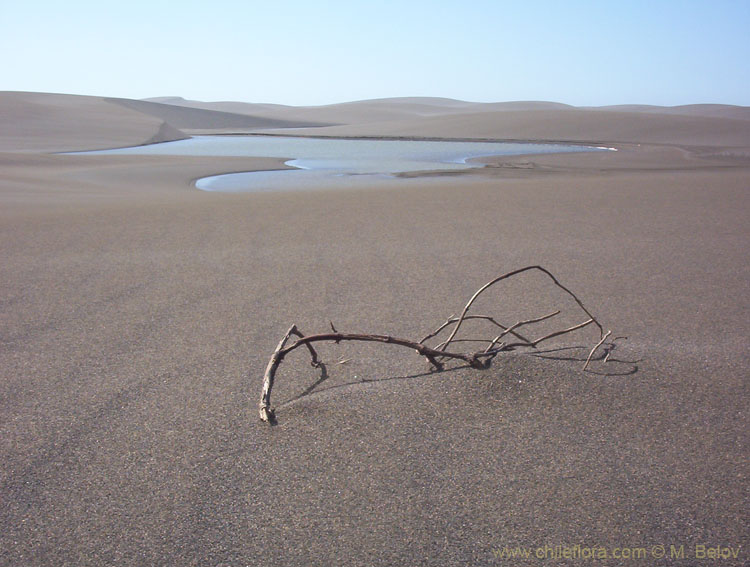 An image of a dried branch protruding from sand, Putu dunes, Chile.