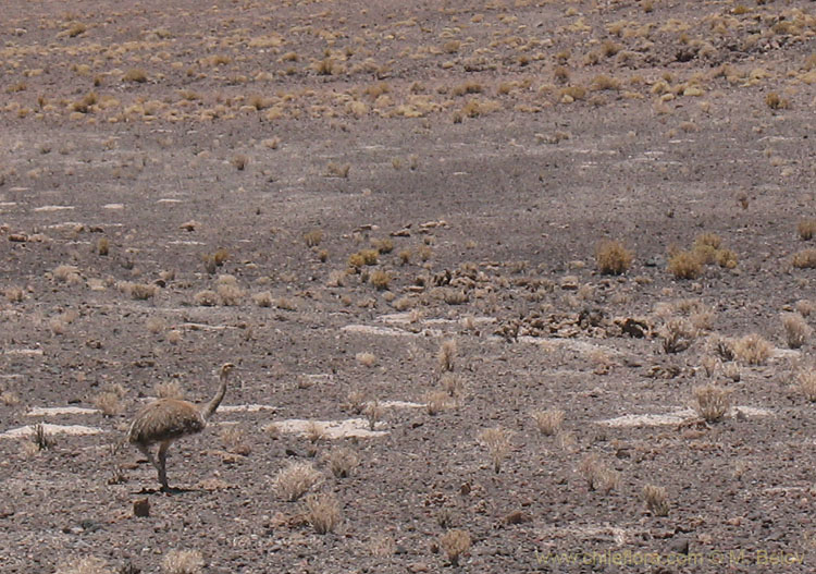 �andu:South American ostrich. They live from Patagonia to Atacama and reach altitudes well over 4000 m... on feet obviously.