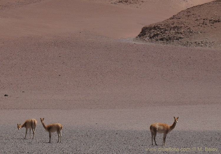 Vicu�a:Endangered species, similar to Guanaco, but more slender. It was in very high demand for its fleece.