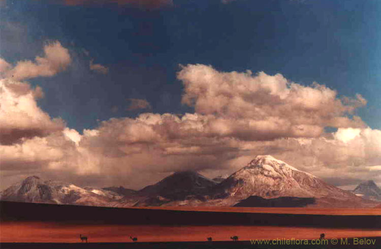An image of mountain scenery with guanacos grazing near the Salar de Atacama, Chile.