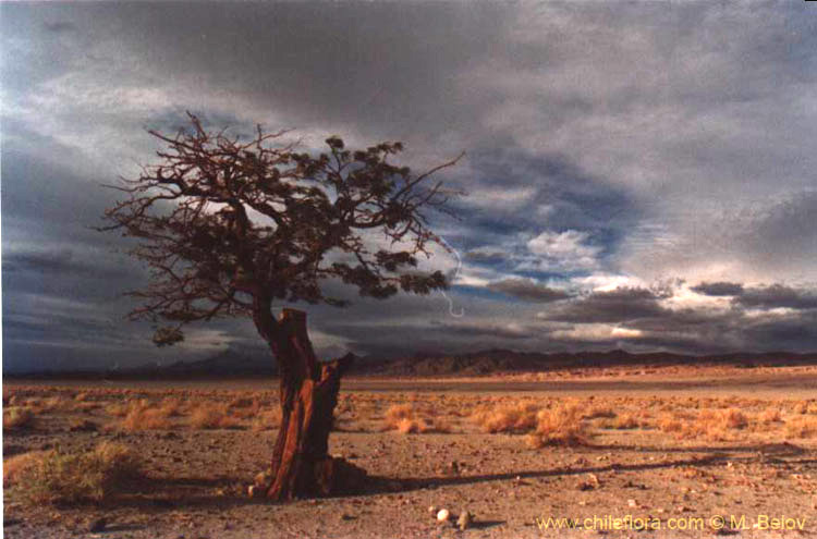 A tree which was cut and is growing again from the rests of the trunk, with cloudy scenery behind in the Atacama desert near Peine, Chile.