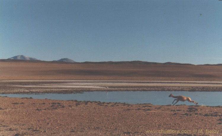 An image of a running guanaco, with a small lake and Altiplano scenery behind, in Salar de Tara, Chile.