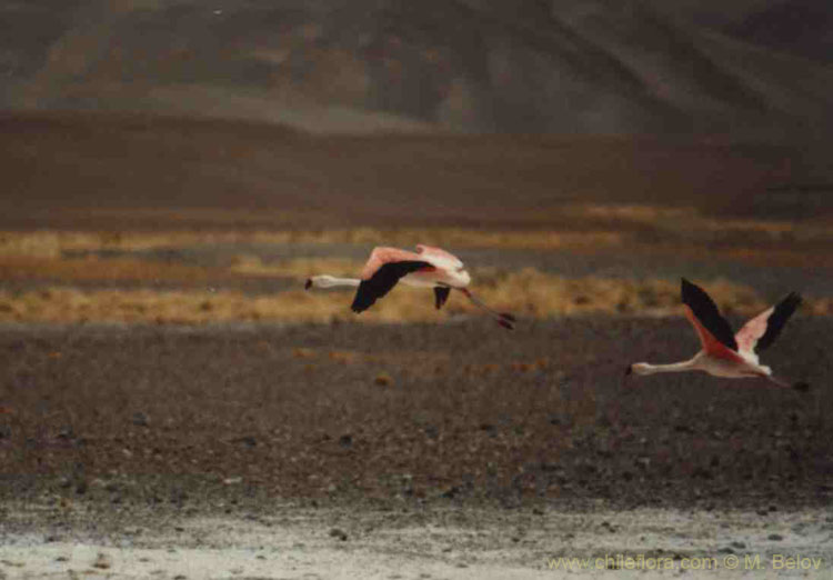 A pair of flying flamingoes near Salar de Maricunga.