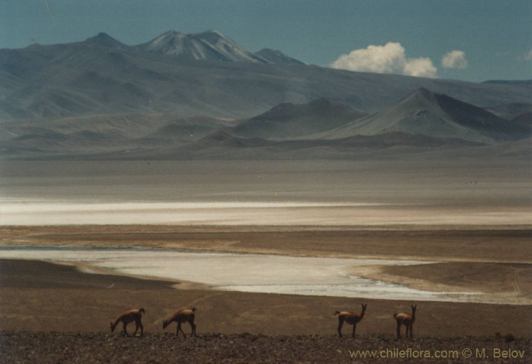 An image of four guanacos grazing on the slopes, with the Salar of Pedernales and Cerro La Nuez behind, Chile.
