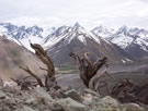 Image of dead Adesmias on a slope in the Embalse Yeso Valley.