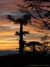An image of Araucaria at dawn